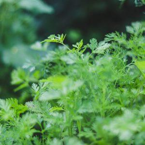 Coriander – Herb Information